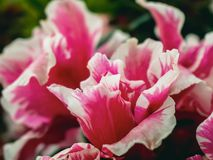 Pink and white common peony flower royalty free stock images