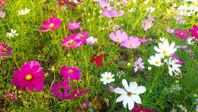 Pink and white cosmos flower. Beautiful pink and white cosmos garden stock image