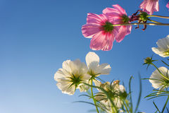 Pink and white cosmos flower in blue sky Royalty Free Stock Images