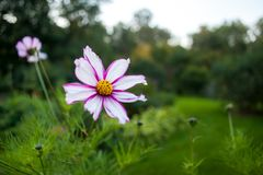Pink and white cosmos flower. Stock Photos