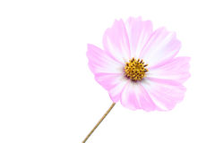 Pink white cosmos flower isolated Stock Image