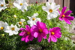 Pink and white cosmos flowers close up Stock Photos