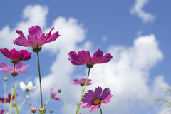 Pink and white  cosmos flowers in the nature Royalty Free Stock Image