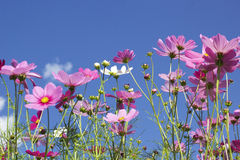 Pink and white  cosmos flowers in the nature Stock Images