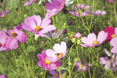 Pink and white  cosmos flowers in the nature Stock Photography