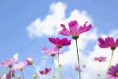 Pink and white  cosmos flowers in the nature Royalty Free Stock Photo