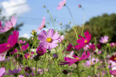 Pink and white  cosmos flowers in the nature Stock Photos