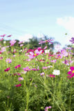 Pink and white  cosmos flowers in the nature Royalty Free Stock Photography
