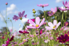 Pink and white  cosmos flowers in the nature Royalty Free Stock Images