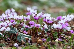 Pink and white cyclamen. Flowers growing on a field Stock Photography