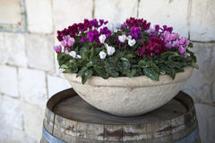 Pink and white cyclamens in bowl Stock Image
