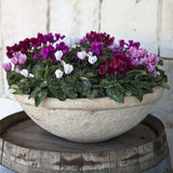 Pink and white cyclamens in bowl Stock Images