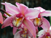 Pink white cymbidium clarisse orchid flower Stock Images