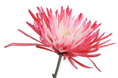 Pink and white dahlia Royalty Free Stock Images