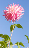 Pink White Dahlia Flower. Against a Blue Sky Background royalty free stock photos