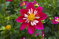 Pink and white dahlia flower. Stock Photography