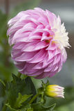Pink & white dahlia flower Royalty Free Stock Image