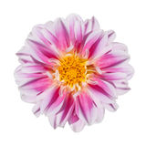 Pink and White Dahlia Flower Isolated on White. Beautiful Pink and White Dahlia Flower with Yellow Center Isolated on White Background Stock Images