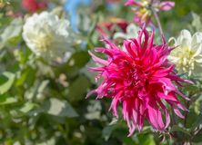 Pink and white dahlia flowers against green leaves Royalty Free Stock Photo