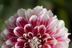 Pink and white Dahlia stock photography