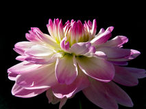 Pink and white dahlia in sunlight Royalty Free Stock Photography