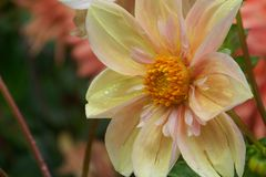 Pink and White Dahlia. With a yellow center Royalty Free Stock Photos