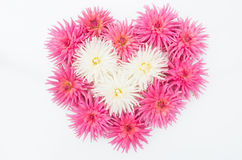 Pink and white dahlias in shape of love heart.  Royalty Free Stock Photo