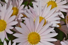 Pink and White Daisies Stock Images