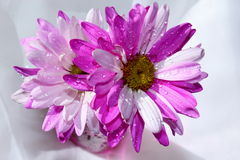 Pink and white daisies. A few colorful pink and white daisies in a pink vase stock image