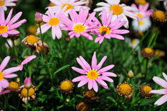Pink and White Daisies Royalty Free Stock Image