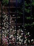 Pink and White Daisies on Garden Steps. Daisy flowers in pink and white cascading down old fashioned steps. Photographed through iron railings with green leaves stock photography