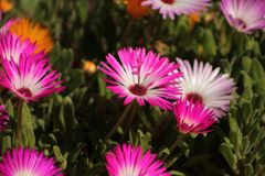 Pink and white daisy. Flowers sunshine Royalty Free Stock Images