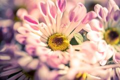 Pink and white daisy in garden royalty free stock photo