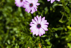 Pink and white daisy on a green background Stock Photos