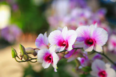 Pink-white Dendrobium Orchid Royalty Free Stock Photo