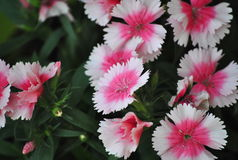 Pink and white dianthus Stock Images