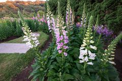 Pink and white digitalis or foxglove flowers in the spring season in the garden. Summer nature background royalty free stock photo