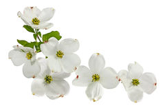 Pink White Dogwood Flowers. Pink white dogwood blossom spring flower isolated on white Stock Photos