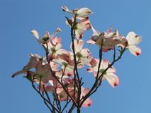 Dogwood Tree Against Cloudless Sky stock photo
