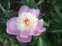 Pink and White Double Peony Royalty Free Stock Image