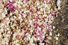 Pink and White Fallen Flowers on Soil, Abstract Background Royalty Free Stock Image