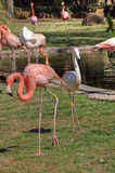 A Pink and a White Flamingo Stand Together Stock Photo