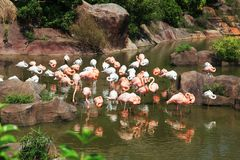 Pink and white flamingos Royalty Free Stock Images