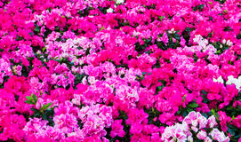 Pink and white flower Royalty Free Stock Photography