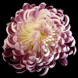 Pink-white flower chrysanthemum. Motley garden flower. black isolated background with clipping path no shadows. Closeup. Nature royalty free stock photo