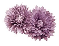 Pink-white flower chrysanthemums; on a white  isolated background with clipping path.   Closeup.  no shadows.  For design. Nature Royalty Free Stock Images