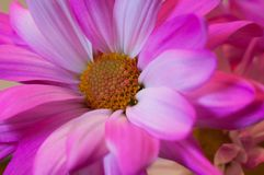 PINK AND WHITE MACRO DAISY royalty free stock photo