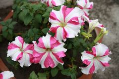 Nature in Pink & White. Pink and white flower with green leaves in the background stock images