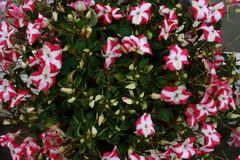 Nature in Pink & White. Pink and white flower with green leaves in full bloom in a tub royalty free stock photography