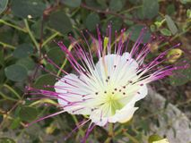 Pink and white flower. Paphos Cyprus 2017 Royalty Free Stock Photos